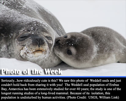 Seriously...how ridiculously cute is this? We saw this photo of  Weddell seals and just couldn't hold back from sharing it with you!  The Weddell seal population of Erebus Bay, Antarctica has been extensively studied for over 40 years; the study is one of the longest running studies of a long-lived mammal. Because of its isolation, this population is undisturbed by human activities. (Photo Credit:  USGS, 